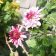 道辺の満開の白梅と菊の花