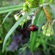 唐綿風船の茎にてんとう虫