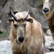 多摩動物公園のゴールデンターキン メイ。1歳と209日目の角。