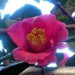 庭の花 (椿、山茶花)