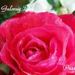 薔薇の園  * 2018 *  Vol.15 * ゴールウェイベイ *