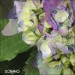2017 紫陽花