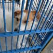 福井県内保護収容犬