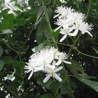 仙人草(せんにんそう)という花