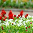 強い夏の日射しにも負けず千日紅が元気に咲いていました