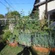 庭のトマト・第一弾のキュウリを片づけました
