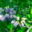 クロヨナがあちこちで咲いてます!