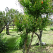 蘇るザクロの木