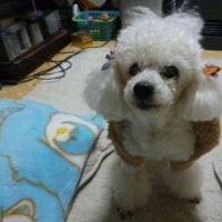老犬ラスさん 久々のカットへ (*´∇`*)