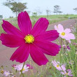 季節の花「秋桜(コスモス)」
