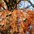 ラクウショウ(ヌマスギ) - 石神井公園