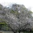 十月桜です。