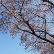 待ちに待った桜