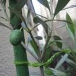 我が家のオリーブの鉢植え