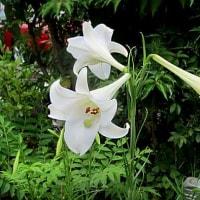 高砂百合(たかさごゆり)という花