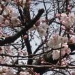 スピリチュアルなヒーリング・・・桜です・・・・・(*^^*)