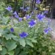 「おはようの花」 桔梗(ききょう) 8月