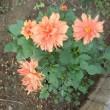 我が家の お花様達 816