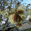 春らしい。