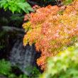 16/Aug 珊瑚樹の実とムクゲとモミジと薔薇とキクイタダキ♫