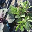 ソラマメに花芽
