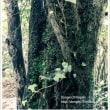 木の幹を這う蔦② ~九千部山にて~