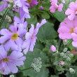 マラコイデスの花は