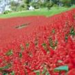 〇【台風一過】・・・・赤いじゅうたん サルビアが見頃 マザー牧場