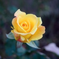 11月14日の北公園のバラです。