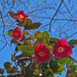 椿の花が咲く頃(Ⅸ)