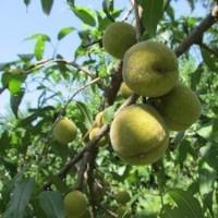 Prunus mira