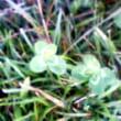 5枚葉のクローバー