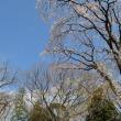 六義園 「もうひとつのしだれ桜」