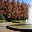 県立相模原公園のメタセコイアの紅葉(2017.12.3)