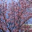 桜が咲いた~ハレルヤ