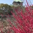 梅満開 大阪城