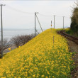 双海町菜の花祭り