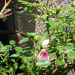 ミニ薔薇の開花
