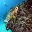 可愛いアオウミガメ!