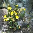 石垣に咲く大きな『サボテン』・・(☆_☆