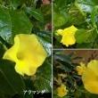 アラマンダの花は