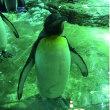 島根のアクアスのペンギン