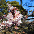 小石川植物園(ロウバイ)