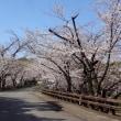 熊本城の桜、明日あさってが本番です!