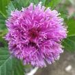 紫ルーシヤン(通称  林檎あざみ)