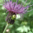 花に潜む恐怖 コハナグモ