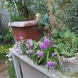おんぼろ棚の羽蝶蘭&紫のセネシオ