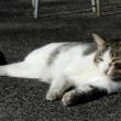 ネコいっぱい!栃木県の唐澤山神社は猫の神社だ~! (その1)いきなりネコまみれ!