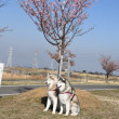 桜と菜の花 利根川水辺プラザ公園
