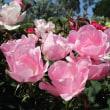 バラもラベンダーもポピーも見ごろ。